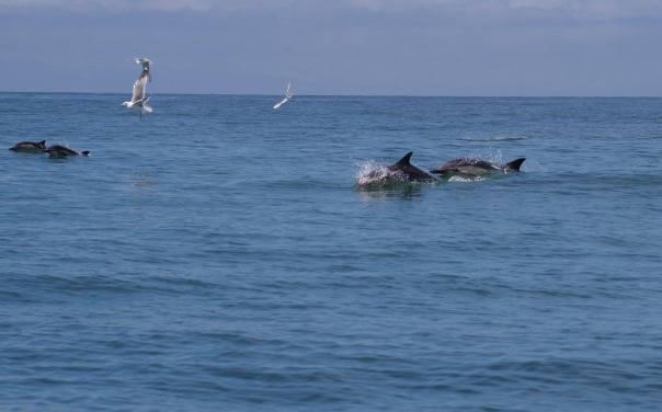 dolphons